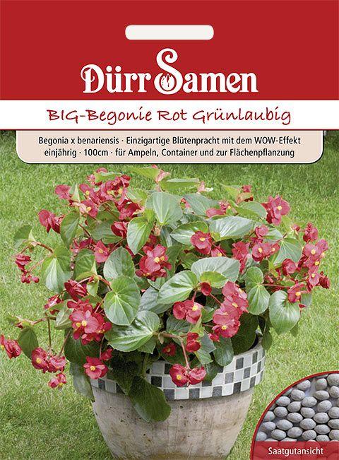 Dürr Samen BIG-Begonie  Rot Grünlaubig, einjährig, 100cm