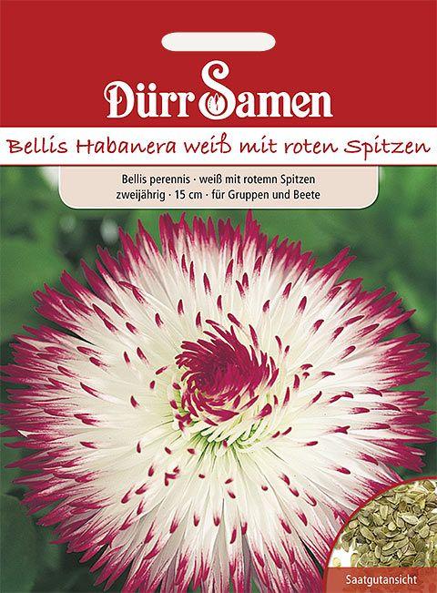 Dürr Samen Gänseblümchen  Habanera weiß mit roten Spitzen, zweijährig, 15cm
