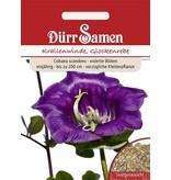 Dürr Samen Krallenwinde, Glockenrebe Violett, einjährig, bis zu 200 cm