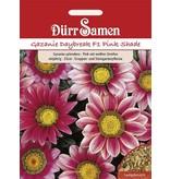 Dürr Samen Gazania  Daybreak Pink Shade F1, pink m. weißen Streifen, einjährig, 25cm