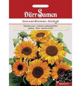 Dürr Samen Sonnenblume  Soraya, goldorange Blüten mit dunkler Mitte, einjährig, 100cm