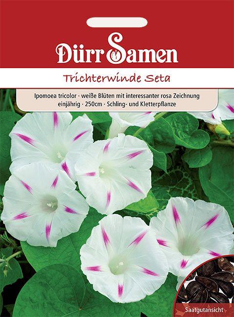 Dürr Samen Trichterwinde  Seta, weiß mit rosa Zeichnung, einjährig, 250cm