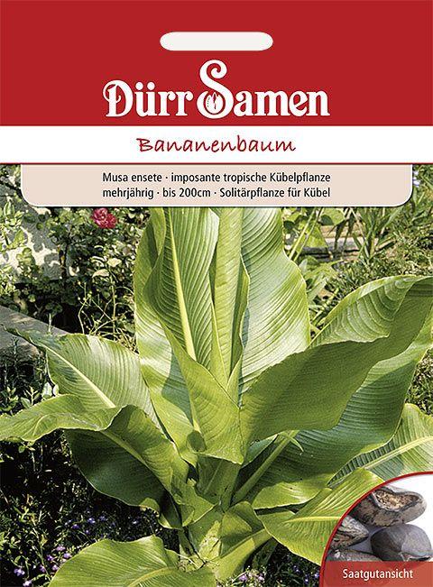 Dürr Samen Bananenbaum mehrjährig, bis 200cm