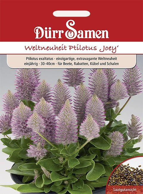 Dürr Samen Ptilotus Joey Joey, silber mit neon-pink-farbigen Spitzen, einjährig, 30–40cm