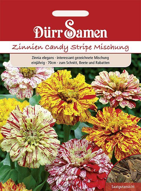 Dürr Samen Zinnie  Candy Stripe Mix, einjährig, 70cm