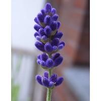 Toiletblok Lavendel & Rozemarijn