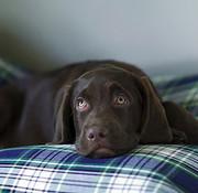 Dog's Companion Hondenbed Dress Gordon