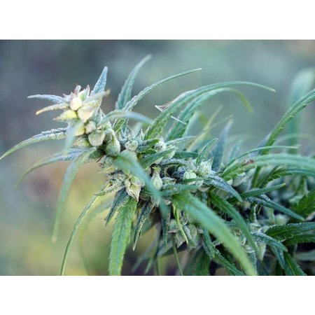 Incannation CBD Blunt flüssige E-Zigarette 50 mg bis 10 ml Cannabidiol