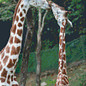 Pixel Hobby Pixelhobby giraffe - 8 platen