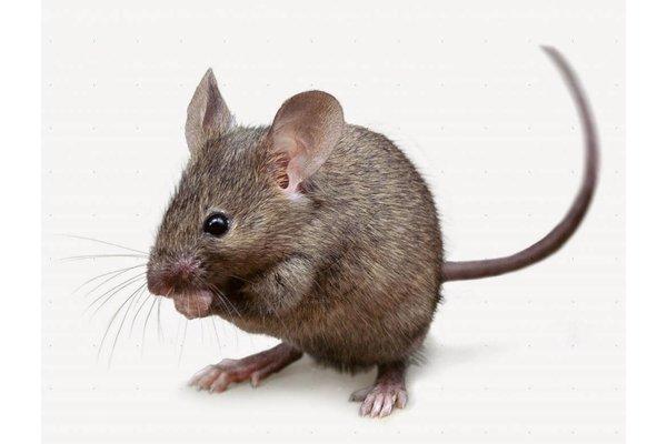 Muizen / Ratten