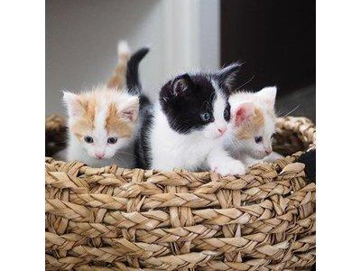 Kattenmand van Luxe, Duurzaam Hoogwaardig Riet met zacht uitneembaar kussentje- District 70 - Maten S/M/L