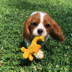 Lanco puppy speelgoed Kameel Medium