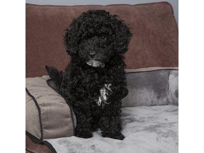 Scruffs Chester - Zacht hondenbed met anti-slip voor op de bank  - Grijs of Bruin in M of L