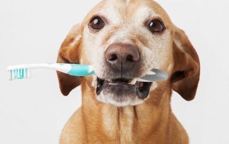 Hoe poets ik het gebit van mijn hond