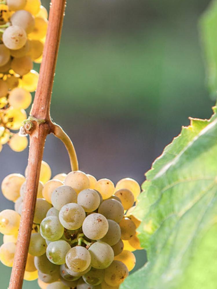 Quinta do Regueiro Vinho Verde Trajadura Alvarinho 2020