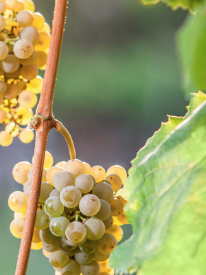 Quinta do Regueiro Vinho Verde Alvarinho Barricas 2019