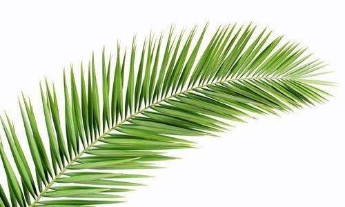 Woodwick Palm Leaf