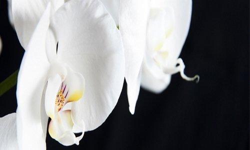 Millefiori Fiori Di Orchidea