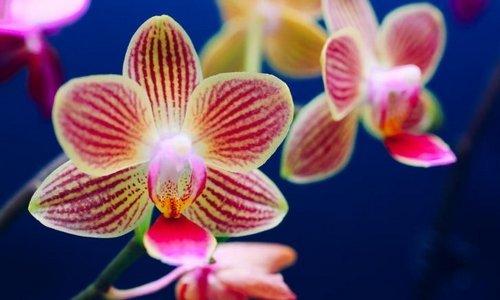 Lacrosse Orchid