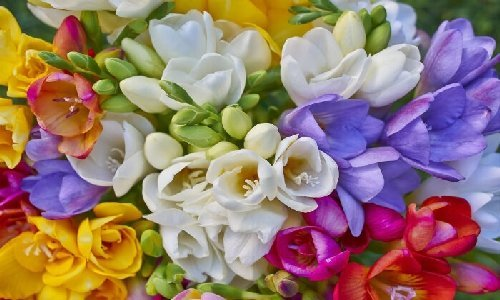 Ashleigh & Burwood Freesia & Orchid