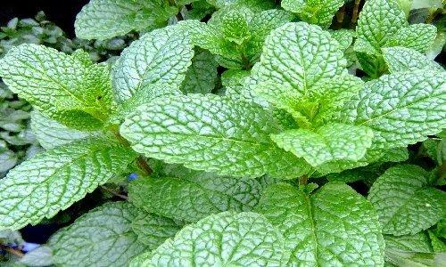 Ashleigh & Burwood Garden Mint