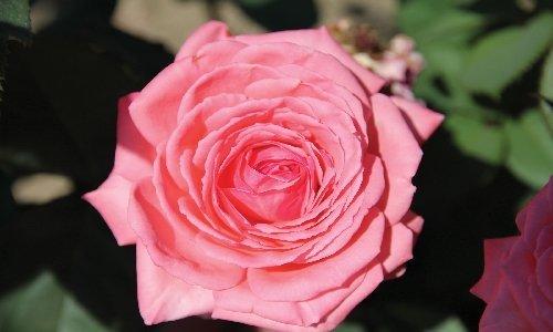 Ashleigh & Burwood Tea Rose