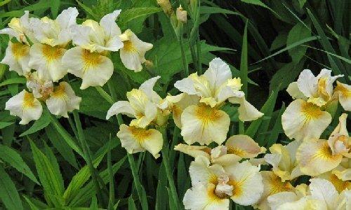 Ashleigh & Burwood White Petal & Amber