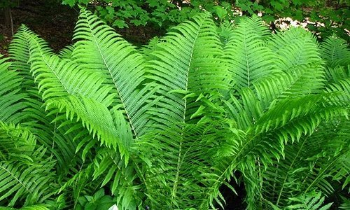 WoodWick Fern