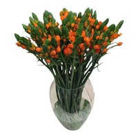 10 Ornithogalum Dubium Orange