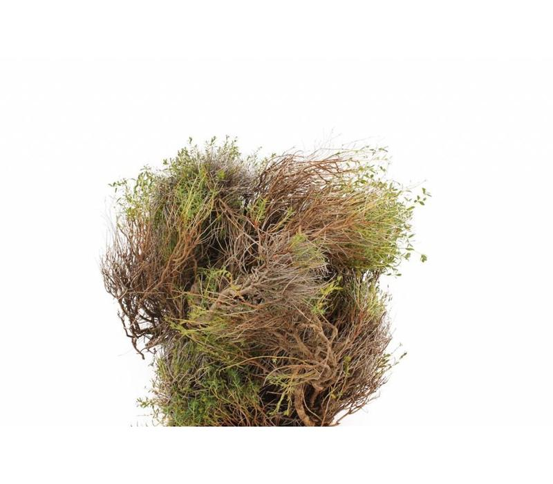 1 Euphorbia Spinosa