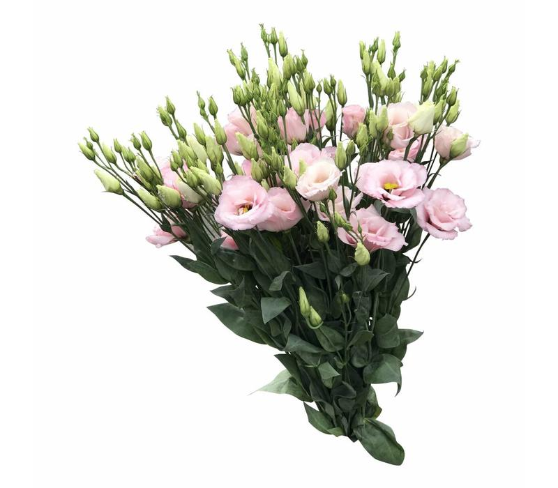 10 Eustoma Arena Ligth Pink (Hell Rosa)