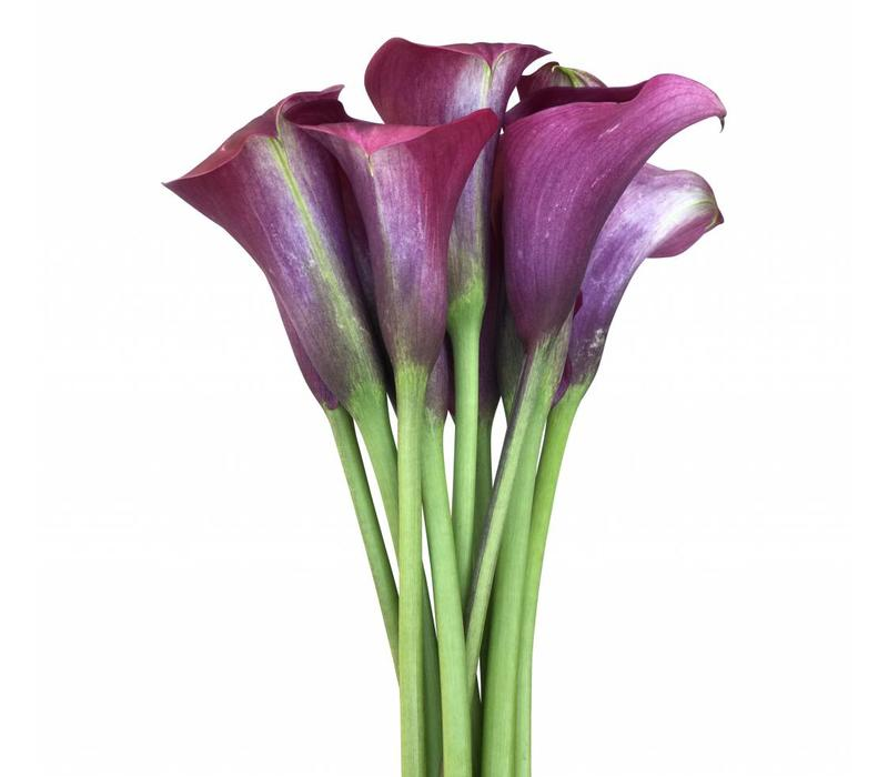 10 Calla Captain Promise (Bordeauxrote)