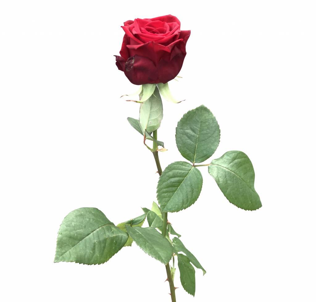 rote rosen red naomi bestellen auf bezahlbare. Black Bedroom Furniture Sets. Home Design Ideas