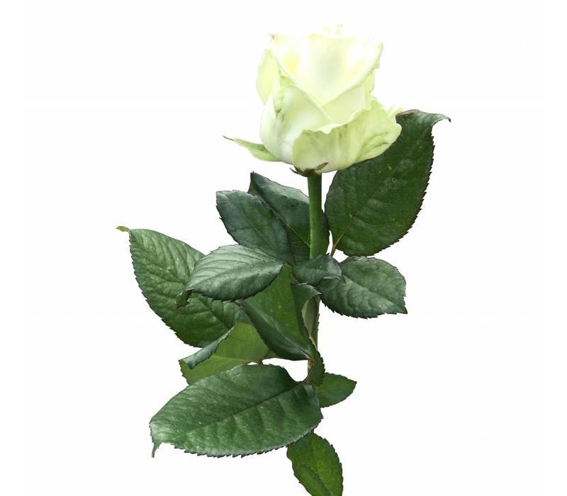 10 Rosen Avalanche