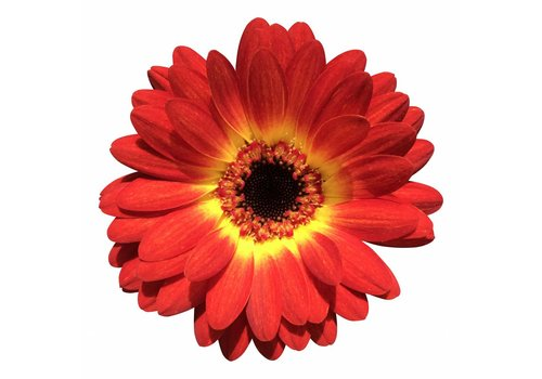 10 Mini Gerbera Wet Paint (Rot-Gelb)