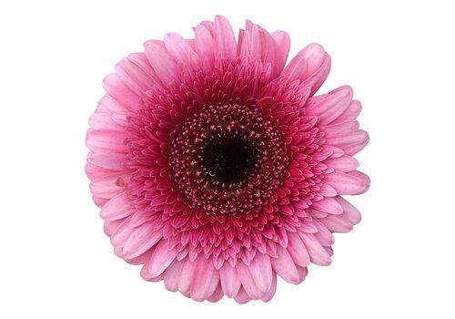 10 Mini Gerbera Isabelle (Pink)