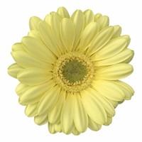 10 Mini Gerbera Lemon Ice (Zitrone)