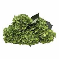 5 Hortensien Emerald Green Classic (Grün)