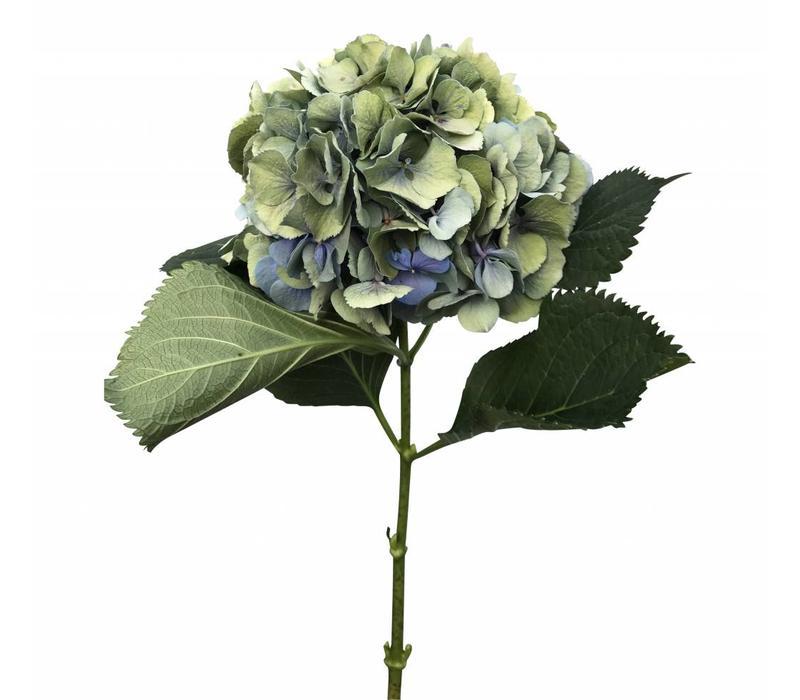 5 Hortensien Macrophylla Elbtal Classic (Blau-Grau)