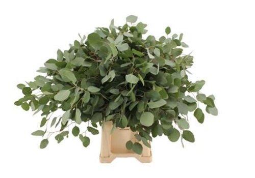 1 Bund Eucalyptus Populus