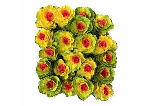 10 Zierkohl Gefärbt (Gelb-Rot)