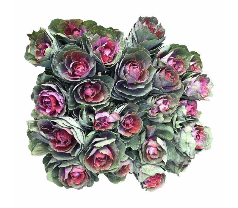 10 Zierkohl Pink Crane (Violett-Grün)