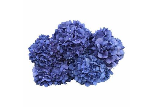 5 Hortensien Blau