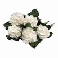 5 Hortensien Schneeball