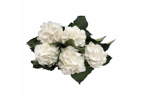 5 Hortensien Weiß