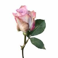 10 Rosen Flieder Memory Lane