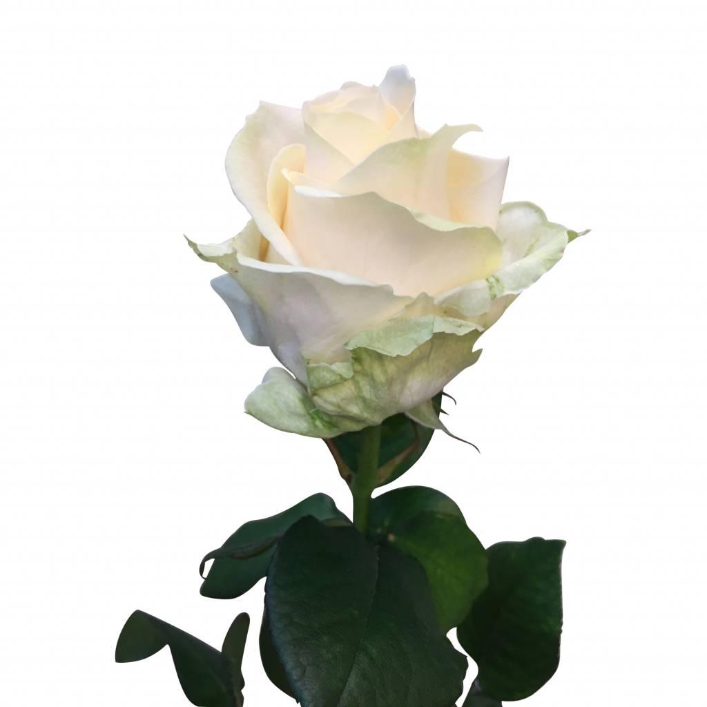 rosen in champagnerfarben online bestellen auf. Black Bedroom Furniture Sets. Home Design Ideas