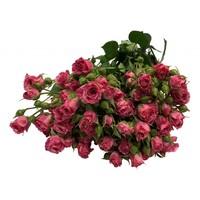 10 Tros-Rosen Pink Flash (Rosa-Pink)