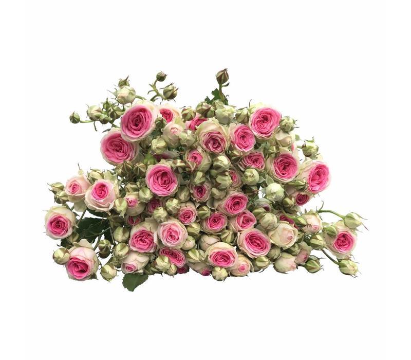 10 Tros-Rosen Mimi Eden (Rosa)