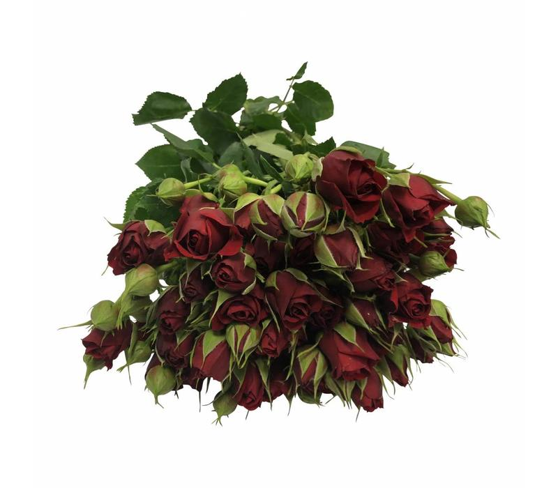 10 Tros-Rosen Mirabel (Rot)
